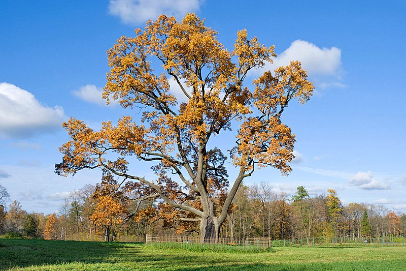 Old oak-tree in the park at Gatchina, royal estate south of St Petersburg, Russia