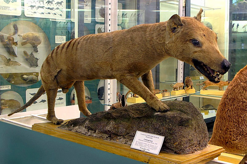 Thylacine in the Zoological Museum in St Petersburg, Russia