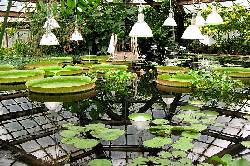 Tropical water lilies at the Botanical Garden in St Petersburg, Russia