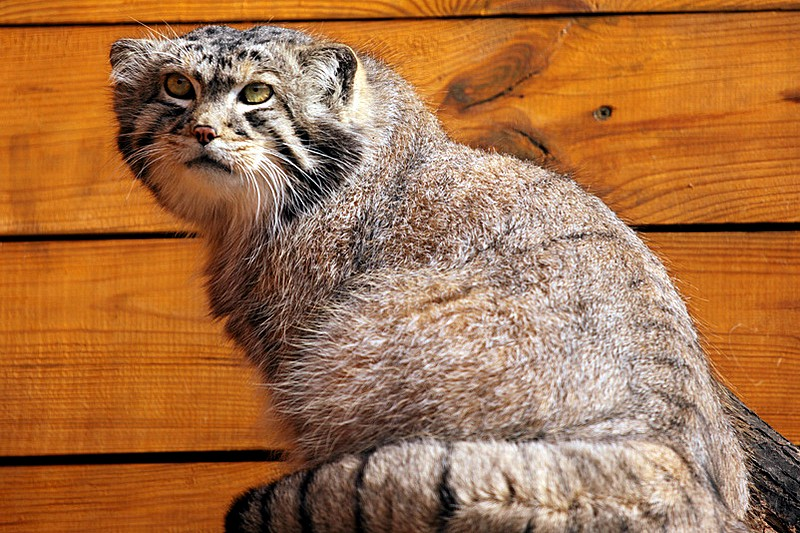 Pallas's Cat at Leningrad Zoo in St Petersburg, Russia