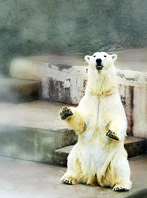 Polar bear at Leningrad Zoo in St Petersburg, Russia